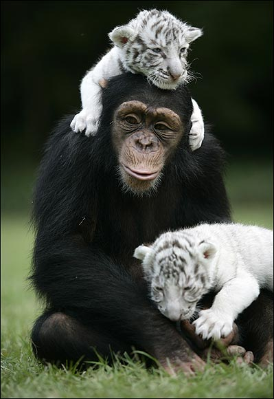 Chimp & Tiger Cubs