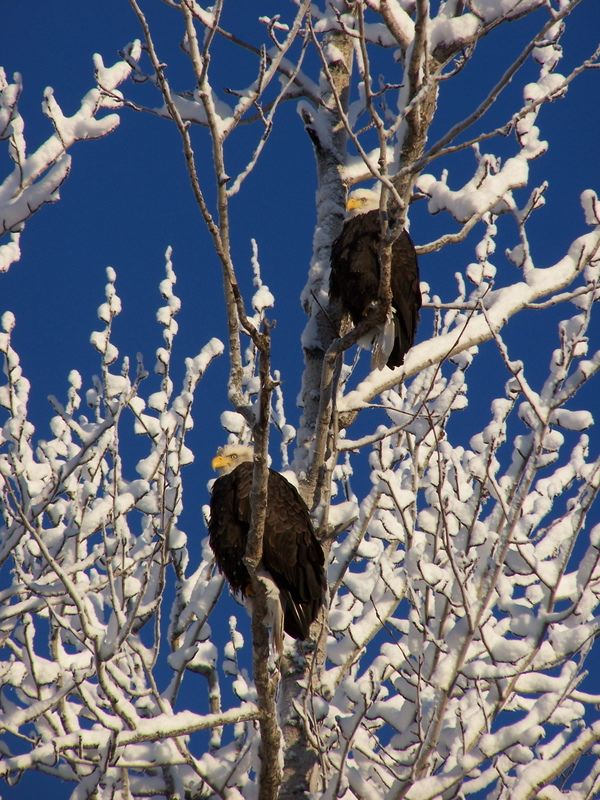 Eagles in the Northwoods near Minocqua, WI.