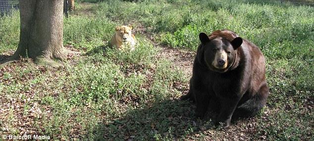 Lions Tigers And Bears Best Friends - Lion tiger bear best friends