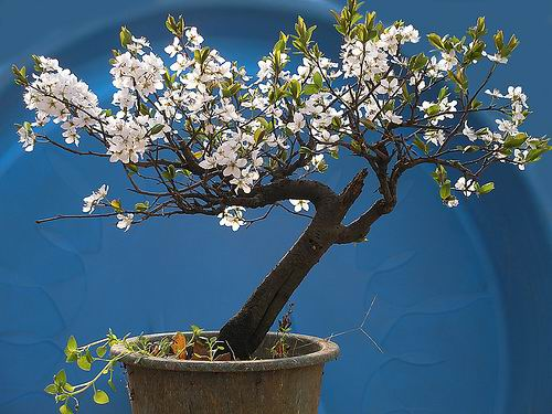 Bonsai in Bloom